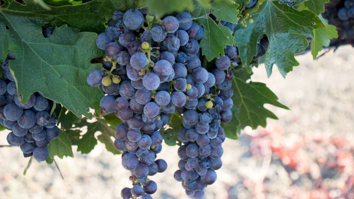All About Grenache Wine