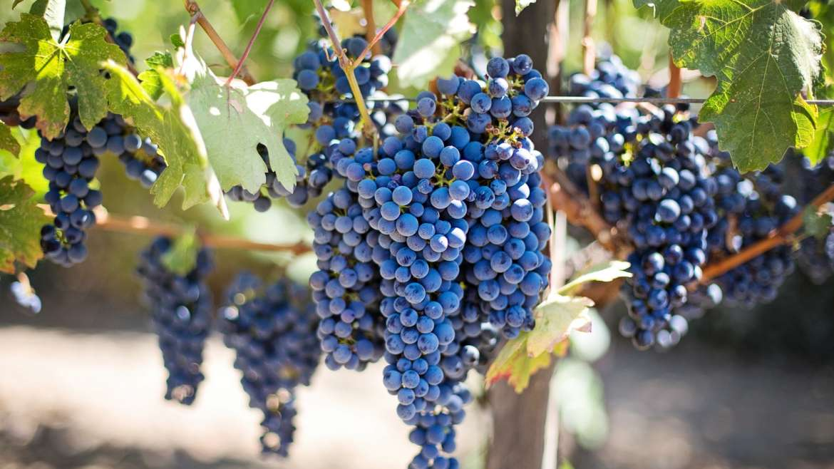 All About Sangiovese Wine