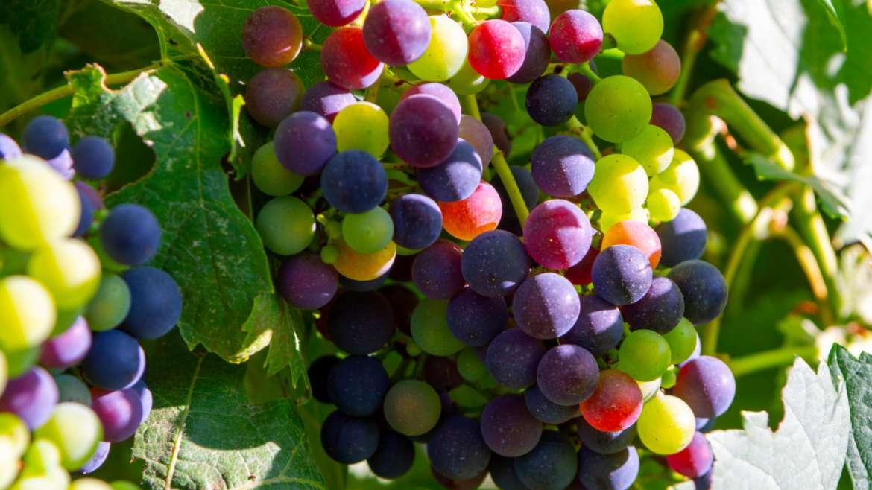 Wine Profile: All About Petit Verdot